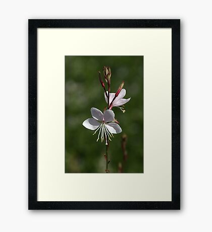 Gaura Flowers Framed Print