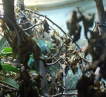 Ambilobe Panther Chameleon by Ryan Presto