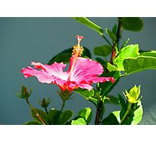Mexican Hibiscus Photographic Print