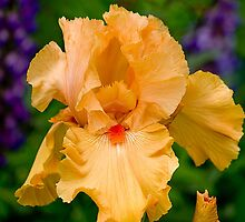 The Yellow Iris At Schriners by thomr