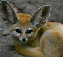 Fennec Fox by insight