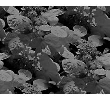 Hydrangea Flowers In Black And White Photographic Print