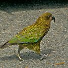 A cheeky Kea, Milford Track, New Zealand. by johnrf