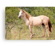 Bush Horse   Canvas Print