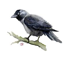 Jackdaw Rook Photographic Print