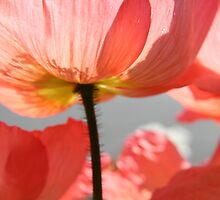 Pink poppy from below - 2011 by Gwenn Seemel
