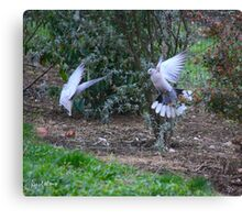 Game of doves Canvas Print
