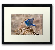 Bluebird with lifted wings Framed Print