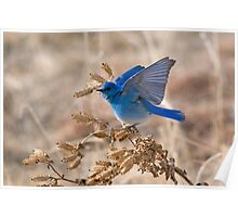 Bluebird with lifted wings Poster