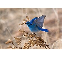 Bluebird with lifted wings Photographic Print