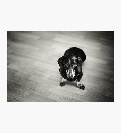 Black and White Portrait of Dachshund Dog Photographic Print
