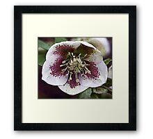Grungy Christmas Rose Framed Print
