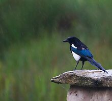 Magpie  (pica pica) by chris2766