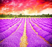 Lavender field by gianliguori