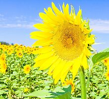 Sunflower field by gianliguori