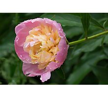Petals and Drops - Soft Pink Peony Photographic Print