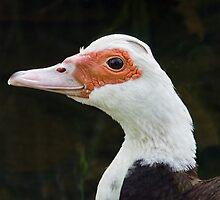 Muscovy Duck by Susie Peek