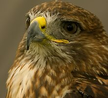 American Red Tailed Hawk by jacqi