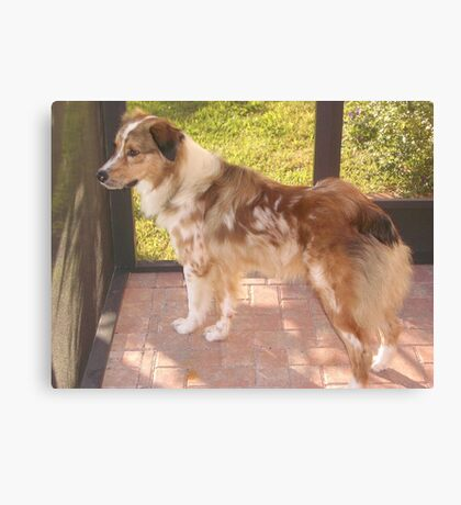 AS red merle full Canvas Print