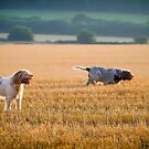 Italian Spinoni Dogs Woody & Ruben by heidiannemorris