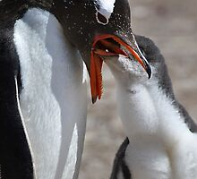 Gentoo Chick Feeding by Carole-Anne