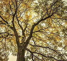 Acacia by LudaNayvelt