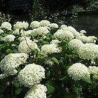 Snowballs in Summer - Sunlit White Hydrangeas by kathrynsgallery