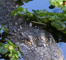 Alligator (Alligator Mississippiensis)  by chris2766