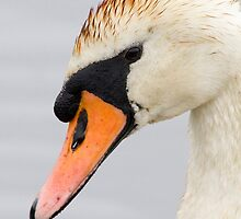 Swan by chris2766