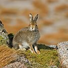 Mountain Hare by Jamie  Green