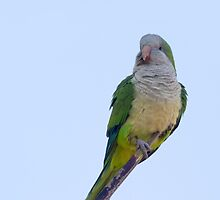 Monk Parakeet  (Myiopsitta monachus) by chris2766