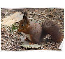 Red Squirrel  (Sciurus vulgaris) Poster