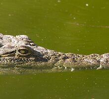 Alligator (Alligator Mississippiensis) by chris2766