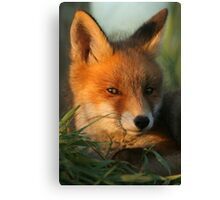 Portrait of young Red Fox Canvas Print