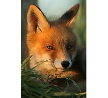 Portrait of young Red Fox Photographic Print
