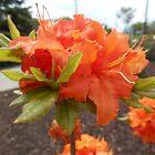 Orange Azalea Flower by James Brotherton