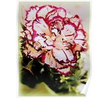 Bi-color carnation - shapes and pattern painted by nature Poster