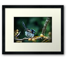 Fairy Wren #7 Framed Print
