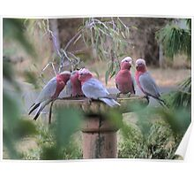 Galah's in the Garden. Poster