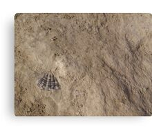 Devona sp. Fossil Canvas Print