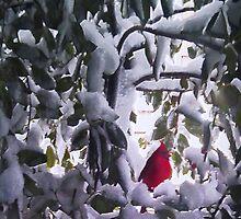 Cardinal in Holly Tree by tori yule