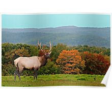 Bull Elk During Rut Poster