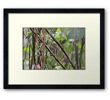 Cuban pygmy owl Framed Print