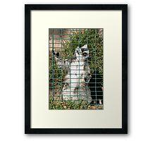 Ring Tailed Lemur Framed Print