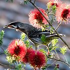 Red Wattlebird at Sunset by Sandra Chung