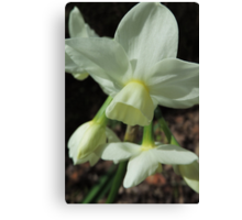 Creamy White and Lemon Daffodils Canvas Print