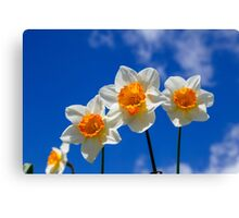 Spring Daffodil Flowers with Blue Sky Canvas Print