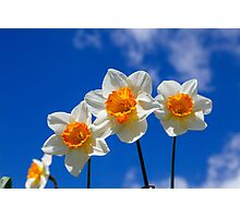 Spring Daffodil Flowers with Blue Sky Photographic Print