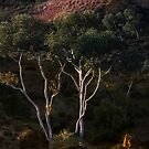 White gums in the ourback by Julia Harwood