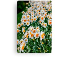 Countless Spring daffodils  Canvas Print